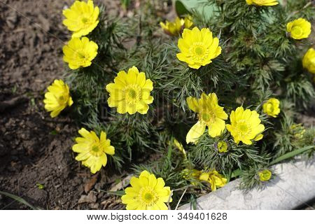 Vibrant Yellow Flowers Of Adonis Vernalis In March
