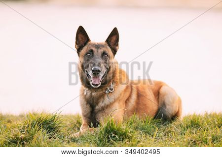 Malinois Dog Sit Outdoors In Grass. Belgian Sheepdog Are Active, Intelligent, Friendly, Protective,