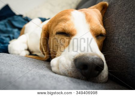 Beagle Dog Tired Sleeps On A Couch In Funny Position. Dog In House Concept.