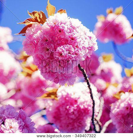Sakura Festival. Cherry Blossom. Sacura Cherry-tree. Spring Blossom Background. Japanese Cherry. Pru