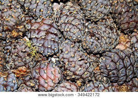 Cones Of Siberian Pine, Fruits Of Siberian Cedar. Harvest Cones Of Siberian Cedar. Collected Fallen
