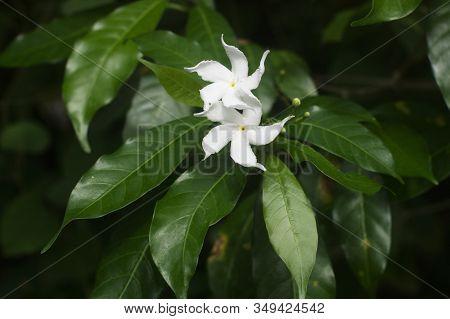 Jasminum Sambac (arabian Jasmine Or Sambac Jasmine) Is A Species Of Jasmine Native To Tropical Asia.