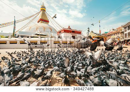 Large Pigeons Flock Walking And Flying On Pavement With The Boudhanath Stupa Background In Kathmandu