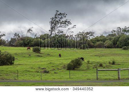 Waimea, Hawaii, Usa. - January 15, 2020: Parker Ranch Headquarters. Brown Horses On Green Meadow Wit