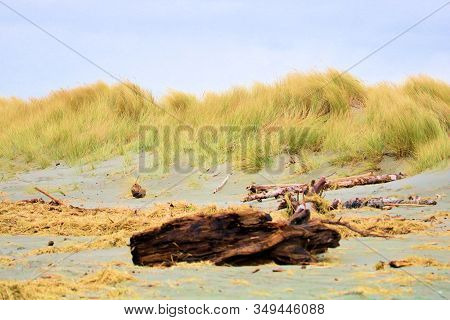 Driftwood On A Windswept Beach With Sand Dunes Covered With Tallgrass Taken In The Rural Northern Ca