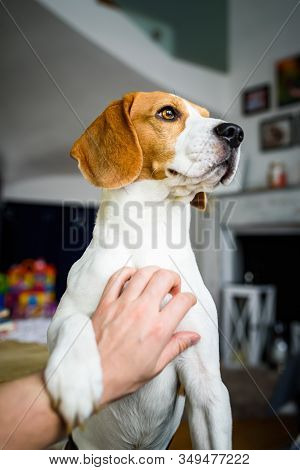 Owner Pet A Beagle Dog. Scratching Dog Chest. Happy Dog Pose At Home.