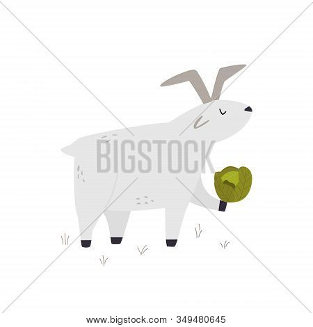 One Happy Funny Goat With A Cabbage