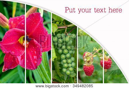Collage. Red Daylily, , Green Grapes And Ripe Red Raspberries Closeup In The Ground. Daylily With Dr