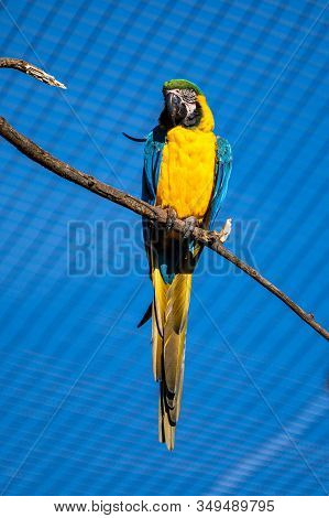 The Blue-and-yellow Macaw, Ara Ararauna Is A Large South American Parrot