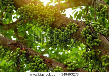 Cluster Fig (ficus Racemosa) In Tropical Forest. Bottom View Of Green Tree In Tropical Forest. Close