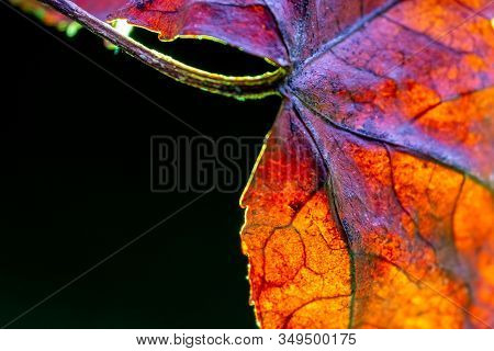 Orange Acer Leaf Vein Texture. Macro Shot. Backlit With Green Against Black Background