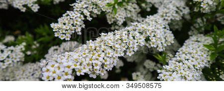 White Small Flowers Of Thunberg Spirea (spiraea Thunbergii) Bush In Blossom