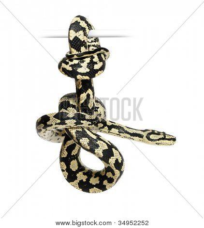 Jungle Carpet Python, Morelia spilota cheynei, black and yellow, against white background