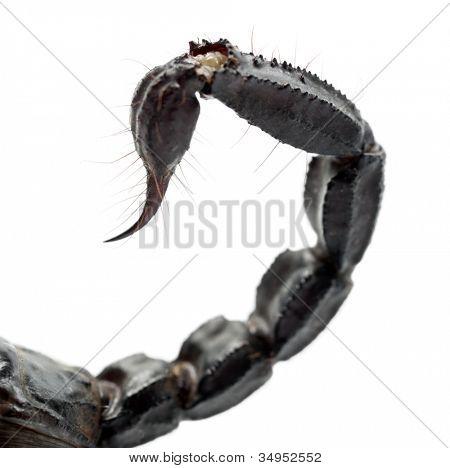 Emperor Scorpion, Pandinus imperator, close up of tail against white background