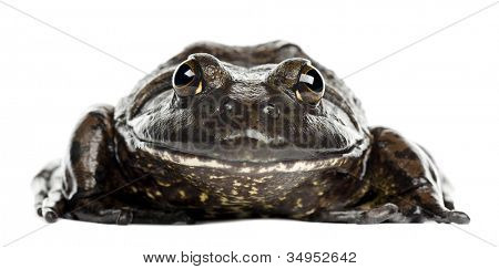 American bullfrog or bullfrog, Rana catesbeiana, portrait against white background