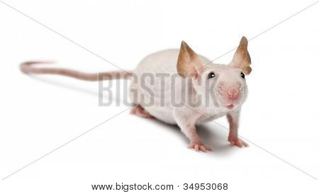 Hairless mouse, Mus musculus, portrait against white background