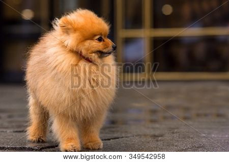 Pomeranian Red Spitz Is Standing On The Sidewalk At The Rainy Gloomy Cloudy Day. Puddles On The Side