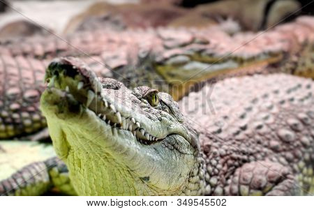 Several Alligator Crocodiles Dangerous Carnivorous Reptiles Close Up