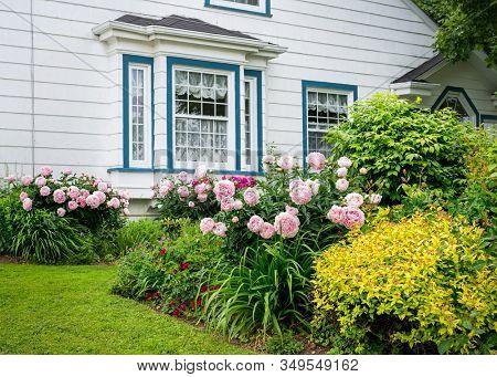 Flower beds full of peonies in the home garden.