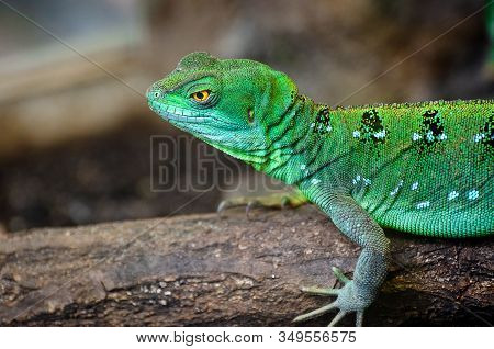 The Plumed Basilisk (basiliscus Plumifrons), Also Called Commonly The Green Basilisk, The Double Cre