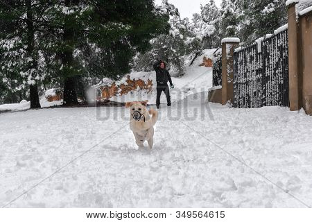 Man Has Fun With His Labrador Dog Throwing Snowballs. Pets And Animals Concept.