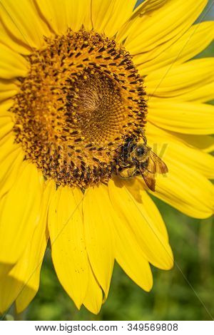Bumblebees (bombus) Are Important Pollinators. In This Photo You Can See The Pollen On The Bees Legs