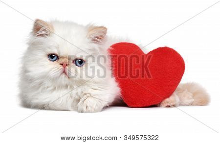 Cute Lover Valentine Persian Colourpoint Kitten With A Red Heart, Isolated On White Background