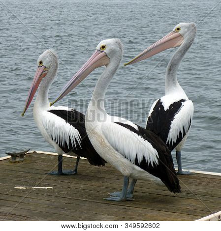 Natural Photography Of White And Black Birds On The Bank Of River. They Are Three In Number And Have