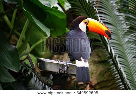 Portrait Of Toucan Bird Sitting On Branch With Green Background. Black Long Beaked Parrot. Beautiful
