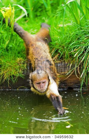 Buffy-headed Capuchin Monkey