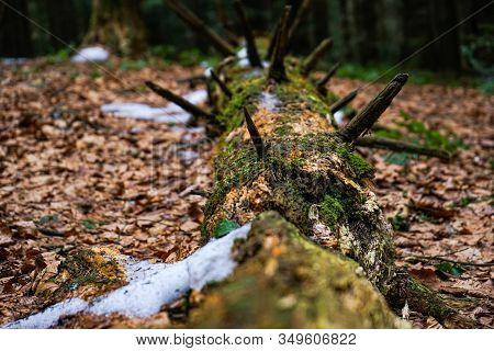 Wild Greenery And Dry Leaves With Snow Under A Fallen Tree. A Fallen Tree Is Covered With Moss In Th