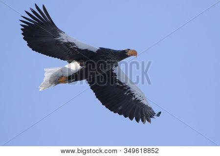 Adult Steller's Sea Eagle Flying Against Blue Sky