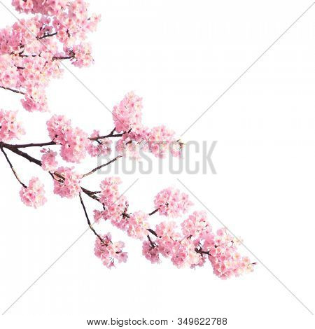 Branch of the blossoming sakura with pink flowers, Japan. Isolated on white background
