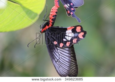 Portrait Of A Black Female Butterfly Hanging From Other Male Butterfly Meeting Season On Green Leaf,