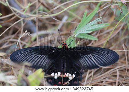 Close-up Of A Black Wings And Red Head Butterfly On The Green Grass Leaves In Nature, Butterfly Wing