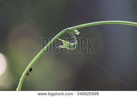 Close Up Of Green Leaves And Branch Of Bean Plant And Black Big Ant Insect With Green Vintage Backgr