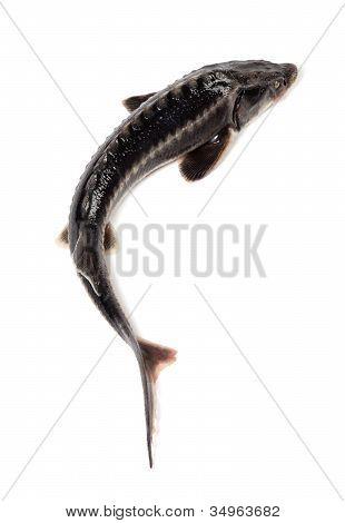 Fresh Sterlet Fish On White Background