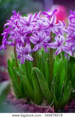 Wonderful Hyacinth Flowers Bloom Outdoors In Spring On A Sunny Day