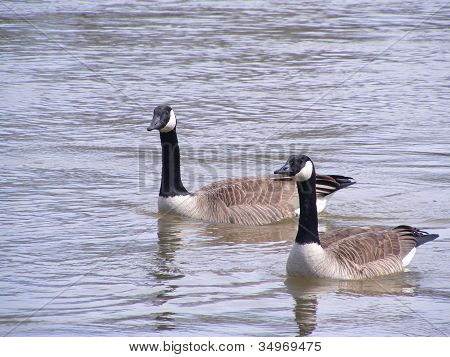 Canada Geese On The Water