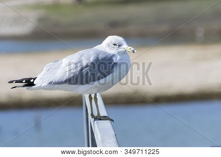 A Solitary Ring Billed Gull Standing On The Metal Rail Of A Marina Pier With Part Of The Lake And It