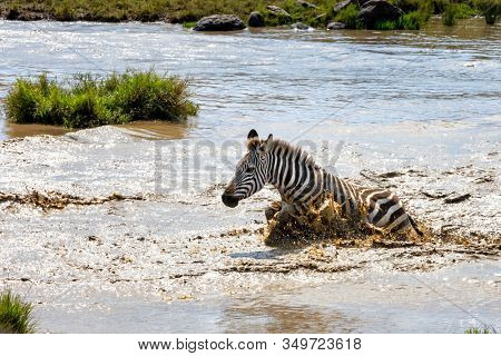 Common plains Zebra splashes in a water hole in the Masai Mara, Kenya.