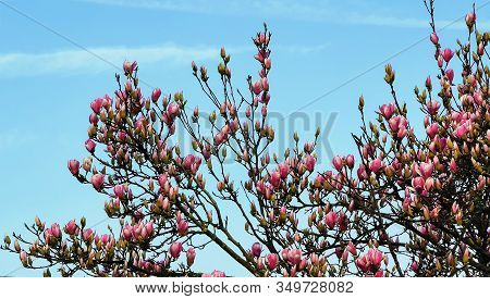 Beautiful blooming flowers of pink magnolia in the garden.
