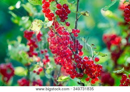 Red Currants -  Red French Grapes. Ripe Red Currants Close-up As Background. Fruit Of Ripe Red Curra