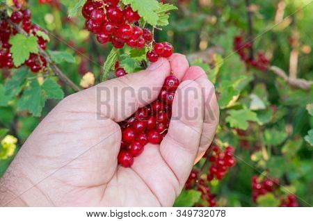 The Hand Collects Fruits From French Red Grapes. Currant Harvesting.  Red Currants, Grape Harvesting