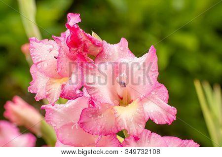 Pink Gladioles Gladiolus Flower. Raindrops On Flower. Spring Garden With Gladioles. Raindrops On Flo