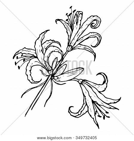Nerine Flower, Spider Lily, Black Line Contour Drawing Isolated On White Background, For Design And