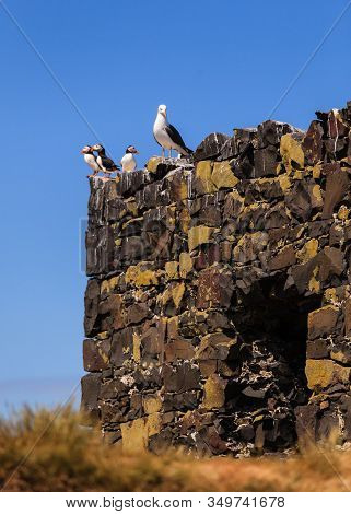 Birds Roosting.  Puffins With A Seagull Roosting On The Farne Islands, Northumberland In North East
