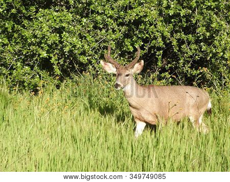 A Mule Deer Buck Standing In The Woodland Foliage Near Potwisha Campground In The Sequoia National F