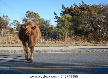 Wild Horse Enjoying A Sunny Day On Assateague Island, Maryland.