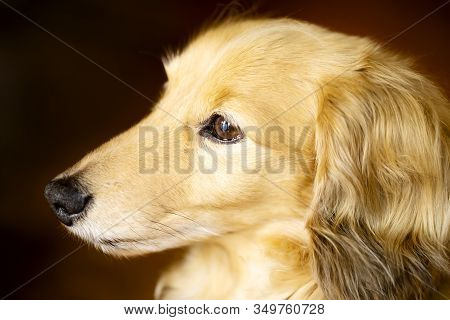Face In Profile Of A Brown Color Miniature Dachshund.close Up.